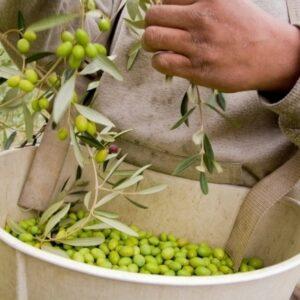 Oliven werden von Hand gepflückt